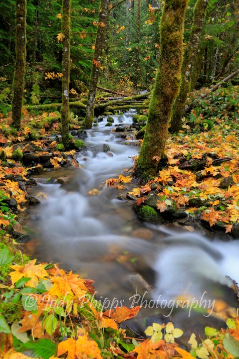 An unnamed stream flows through the fall colors of the Gifford Pinchot National Forrest.