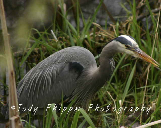 A Great Blue Heron stalks its next meal at the Nisqually WIldlife Refuge.