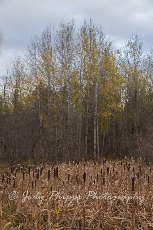 Aspen trees in the Turnbull National Wildlife Refuge.