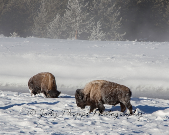 "Bison use their heads to ""plow"" the deep snow out of the way in order to get to the grasses underneath."