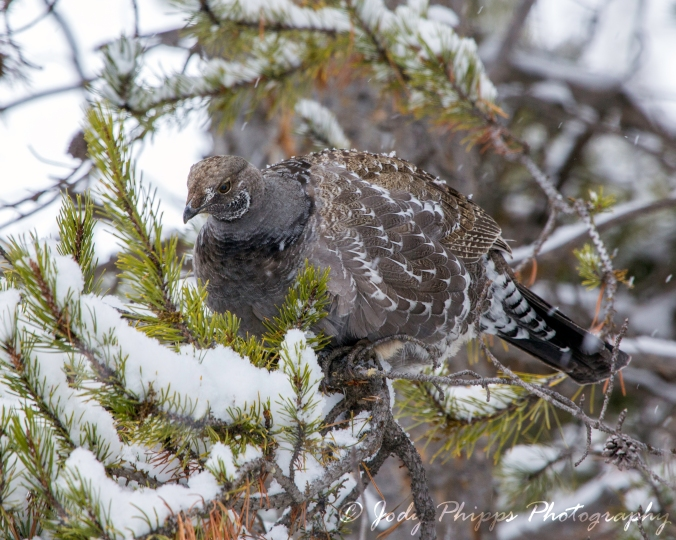 A blue grouse found at Madison Junction.