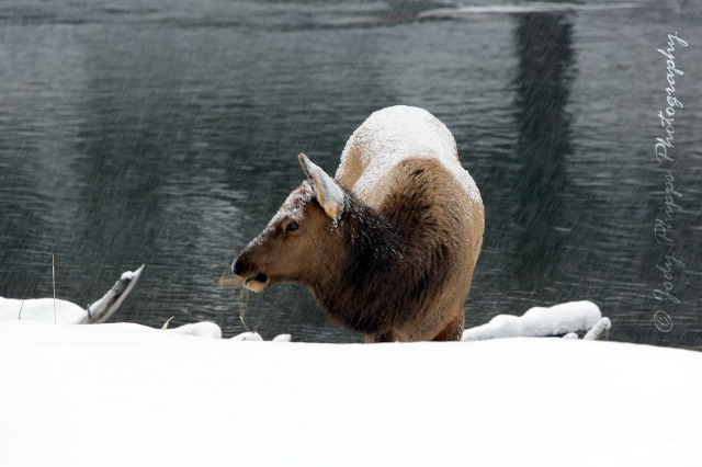 A female elk foraging for grass along the banks of the Madison River in Yellowstone National Park.