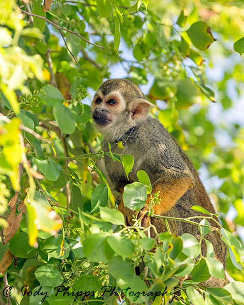 A Squirrel Monkey hiding among the leaves of the trees.