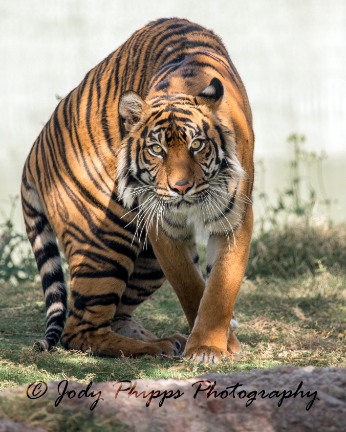 A Sumatran Tiger on the prowl at the Phoenix zoo.